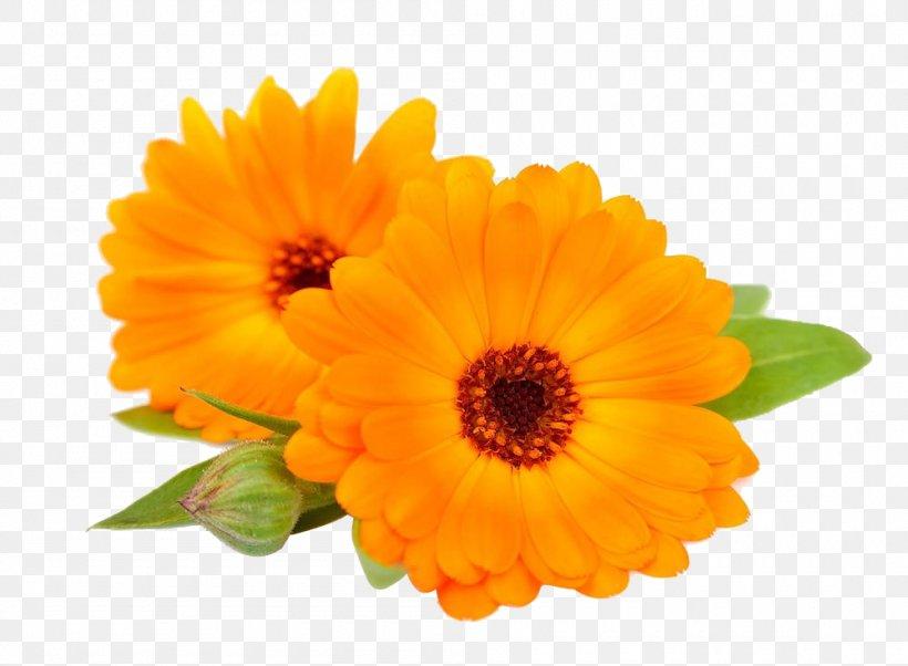 Calendula Officinalis Flower Chrysanthemum, PNG, 1000x735px, Calendula Officinalis, Annual Plant, Calendula, Chrysanthemum, Daisy Family Download Free