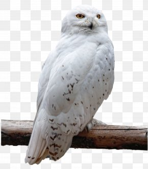 Owl - Owl Bird PNG