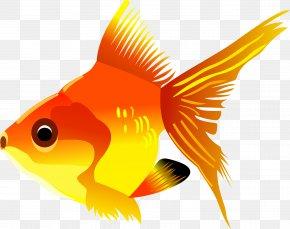 Gold Fish Image - Goldfish Marine Biology Graphics Fauna PNG