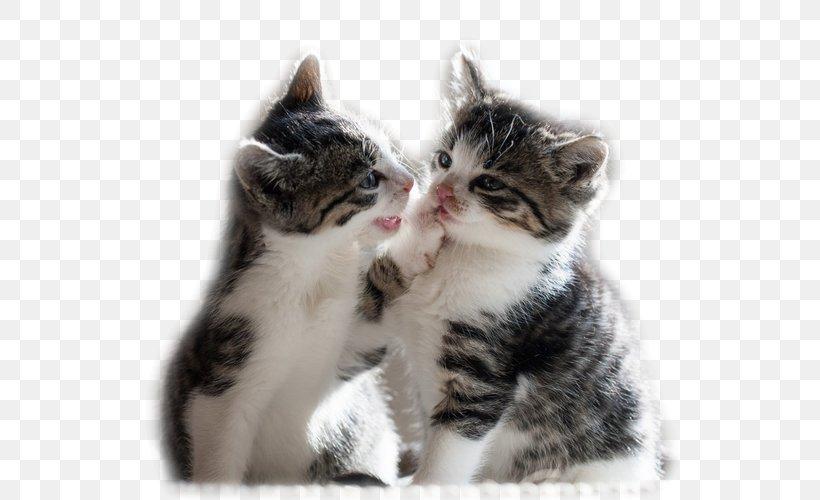 Kitten Maine Coon Cuteness Puppy Desktop Wallpaper Png 659x500px Kitten American Shorthair American Wirehair Animal Calico