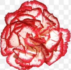 Flower - Garden Roses Carnation Flower Clip Art PNG
