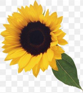 Sunflower - Common Sunflower Blog Clip Art PNG