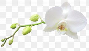 Large Transparent White Orchid Clipart - Moth Orchids White Haiku: An Anthology Of Japanese Poems Clip Art PNG