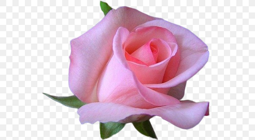 Rosa Foetida Pink Animation Flower, PNG, 600x450px, Rosa Foetida, Animation, Blue Rose, China Rose, Close Up Download Free