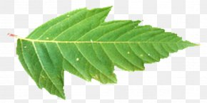 Nature - RGBA Color Space Maple Leaf Texture Mapping PNG