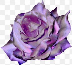 Violet - Garden Roses Violet Flower Clip Art PNG