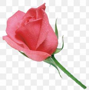 玫瑰花 - Pink Garden Roses Clip Art PNG