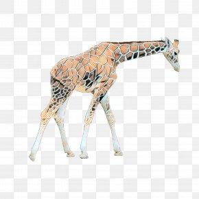 Northern Giraffe Image Desktop Wallpaper PNG