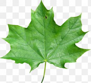 Maple Leaf - Japanese Maple Maple Leaf Red Maple Meaning PNG