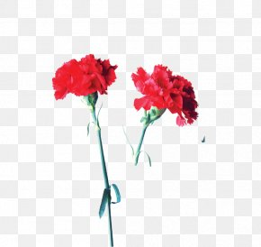 Red Flower Enchantress - Carnation Garden Roses Flower Mother's Day PNG