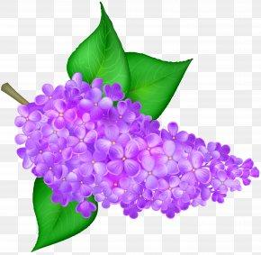 Lilac Flower Transparent Clip Art Image - Lilac Flower Clip Art PNG