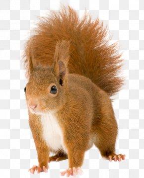 Sky Squirrel - Red Squirrel Tree Squirrel Eastern Gray Squirrel Fox Squirrel PNG