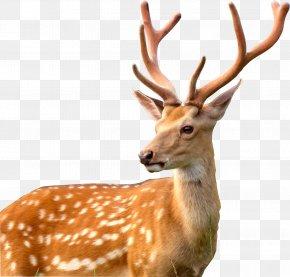 Deer - White-tailed Deer Antler Moose PNG