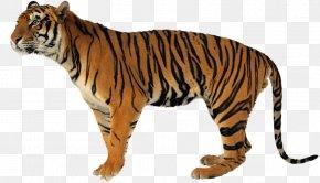 Lion - Never Scratch A Tiger With A Short Stick Lion Jaguar Clouded Leopard PNG