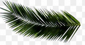 Metasequoia Glyptostroboides Palm Trees Leaf Palm Branch PNG