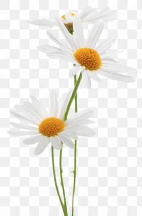 Stock Photography Common Daisy Royalty-free PNG