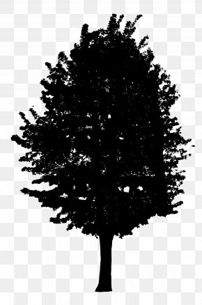 Trees - Tree Woody Plant Conifers Clip Art PNG