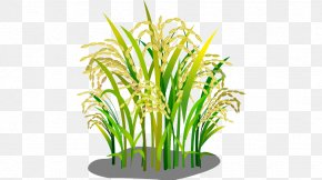 Rice - Oryza Sativa Rice Google Images Download PNG