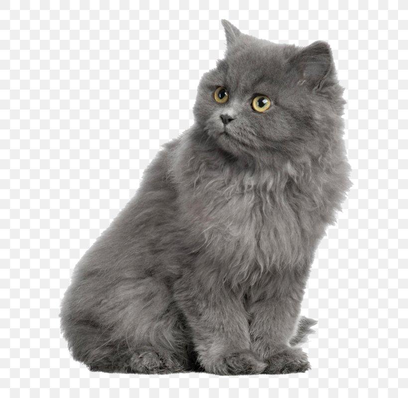 Persian Cat British Shorthair Kitten Dog Horse Png 620x800px Persian Cat Animal Asian Asian Semi Longhair