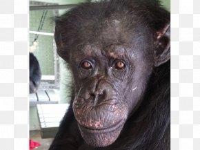 Chimpanzee - Common Chimpanzee Gorilla Primate Monkey Save The Chimps PNG