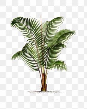 Palm Leaf - Arecaceae Printmaking Poster Botanical Illustration Drawing PNG