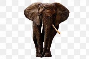 Elephant - Indian Elephant African Forest Elephant PNG