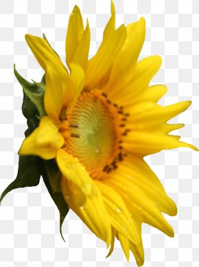 Sunflower - Common Sunflower Pixel PNG