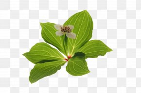 Leaf - Leaf Plant Photosynthesis Green Raster Graphics PNG