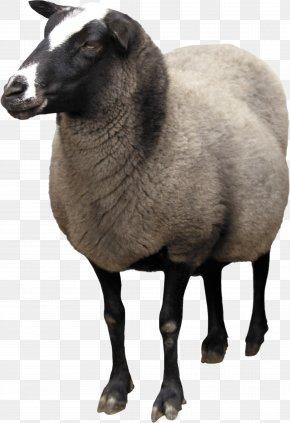 Sheep Image - Sheep Wiki Computer File PNG