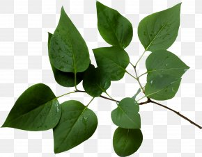 Branches - Branch Leaf Tree Twig PNG