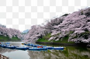 Tokyo Beautiful Cherry Blossoms - Tokyo Cherry Blossom Tourism PNG