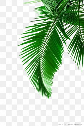 Green Palm Leaves Picture Material - Arecaceae Leaf White Clip Art PNG