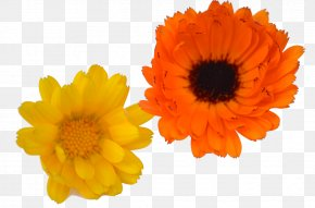 Herbes - Common Sunflower Cut Flowers Daisy Family Calendula Officinalis PNG