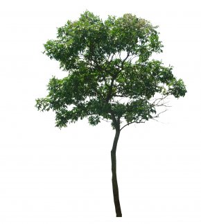 Tree Top View - Tree Dillenia Philippinensis Woody Plant PNG