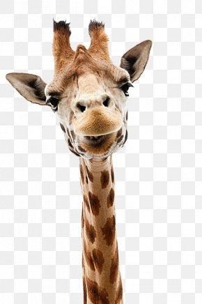 Giraffe Head Out - Giraffe Stock Photography Stock.xchng Royalty-free PNG
