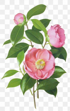 Flower - Japanese Camellia Drawing Watercolor Painting Botanical Illustration PNG