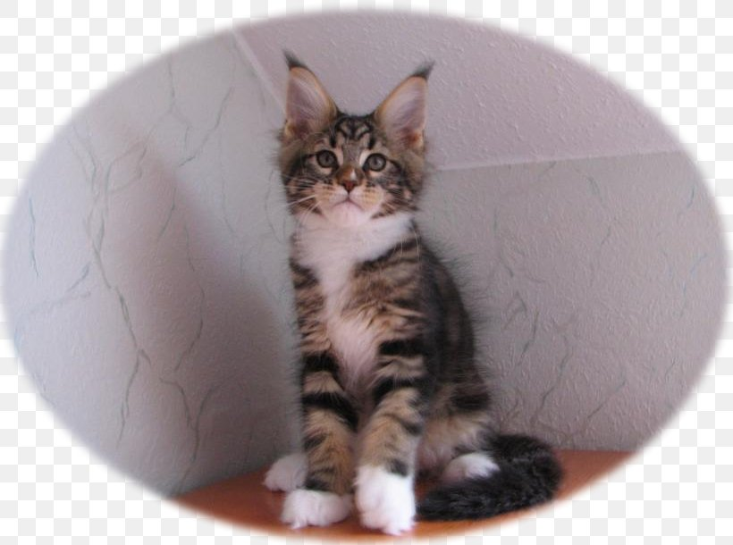 Kitten Maine Coon American Shorthair European Shorthair