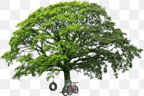 Trees - White Oak Tree Stock Photography Royalty-free PNG