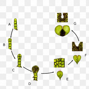 Development Cycle - Leaf Prothallium Biological Life Cycle Sporophyte Vascular Plant PNG