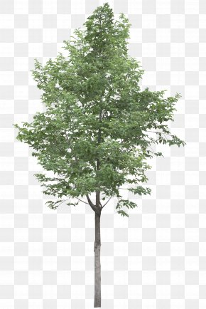 Trees - Tree Acer Campestre Stock Photography Clip Art PNG