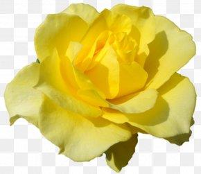 Darshan - Belur Math Floribunda Austrian Briar Cabbage Rose Garden Roses PNG