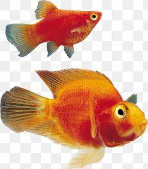 Fish - Black Telescope Aquarium Clip Art Ornamental Fish PNG
