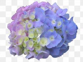 Hydrangea - French Hydrangea Panicled Hydrangea Flower Garden Dear Spring PNG