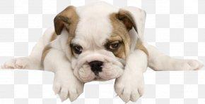 Tummy Happy Dog - French Bulldog Toy Bulldog American Bulldog Puppy PNG