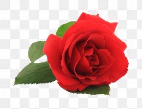 Margin - Rose Flower Stock Photography Clip Art PNG