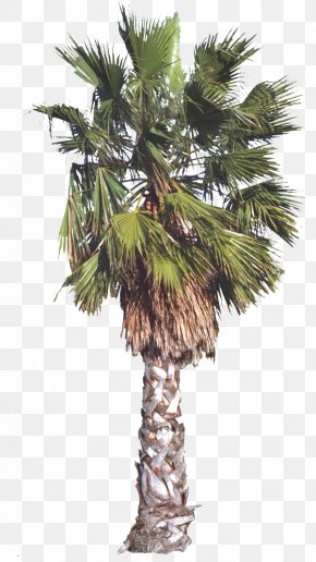 Hand Painted Palm Tree - Arecaceae Tree Date Palm PNG