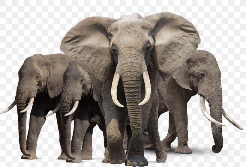 African Bush Elephant Asian Elephant African Forest Elephant, PNG, 1083x736px, African Bush Elephant, African Elephant, African Forest Elephant, Asian Elephant, Elephant Download Free