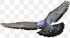 Pigeon Picture - Columbidae Clip Art PNG