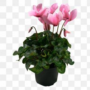 Pot Plant - Cyclamen Houseplant Flowerpot PNG