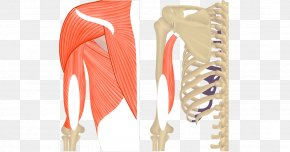 The Upper Arm - Triceps Brachii Muscle Teres Major Muscle Biceps Anatomy PNG